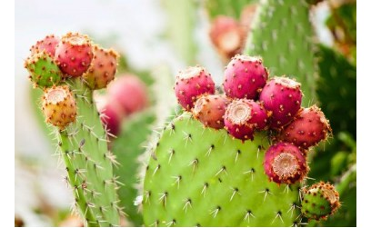 Prickly pear cactus in cosmetics is a real miracle cure!